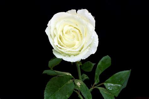 imagenes flores blancas banco de im 193 genes 12 fotos de rosas blancas white roses