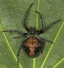 Garden Spider New Zealand Garden Orbweb Spider Alphabetic List Of Bugs Manaaki