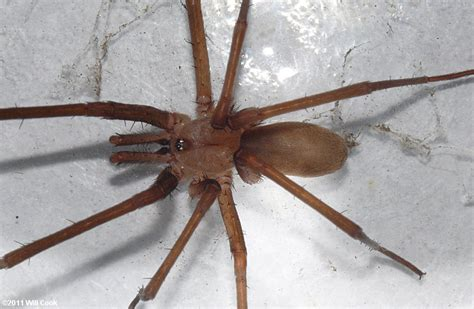 southern house spider vs brown recluse gallery for gt southern house spider