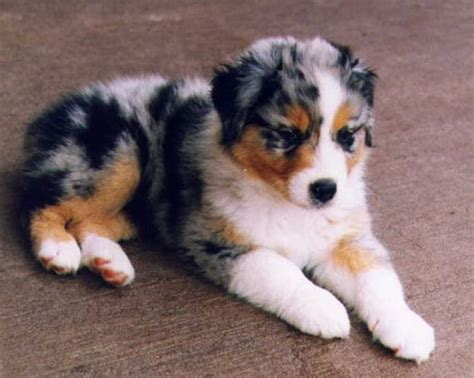 shedding dog breeds medium sizedpet  gallery dog pet  galleryekvmn