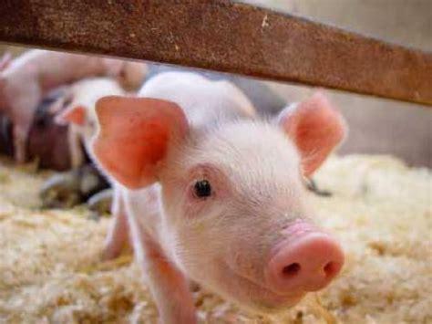 haustiere wohnung wissen 252 ber haustiere kann ein minischwein in der