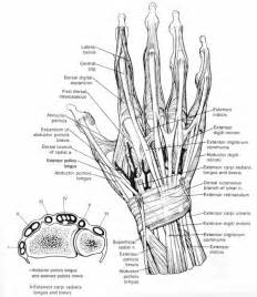 finger extensor tendon anatomy