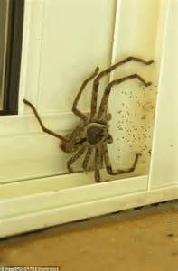 Huge huntsman spider pictured trying to sneak into a house in Australia   Daily Mail Online