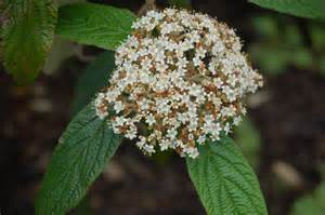 Drought Tolerant Flowering Shrubs - viburnum rhytidophyllum landscape architect s pages