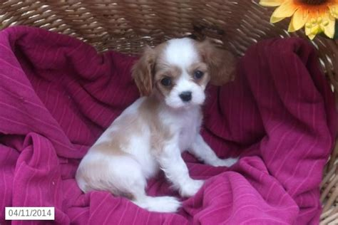 king charles cavalier puppies ohio cavalier king charles spaniel puppy for sale in ohio puppies for sale
