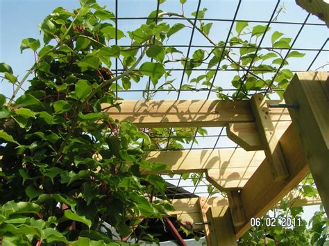 kiwi supported  cattle panel  trellis support