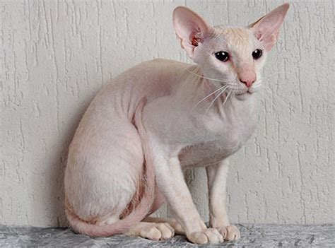 Peterbald Cat ? Purrfect Cat Breeds