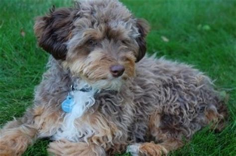mini aussiedoodle miniature aussiedoodle breed information and pictures