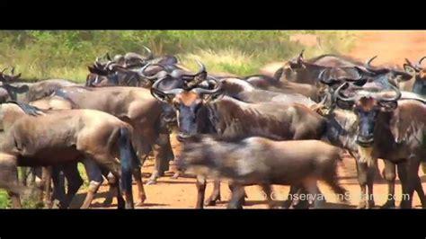 umanji mhani serengeti great migration river crossings in tanzania