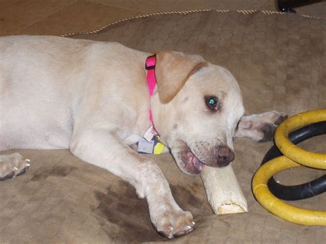 yellow lab mix puppies pitbull yellow lab mix www imgkid the image kid has it