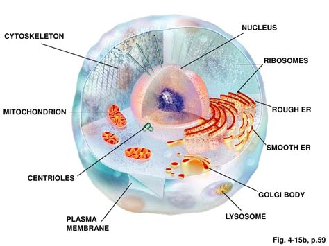human cell diagram human cell structure and function