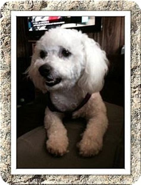tulsa adoption tulsa ok bichon frise meet nokie oh a for adoption