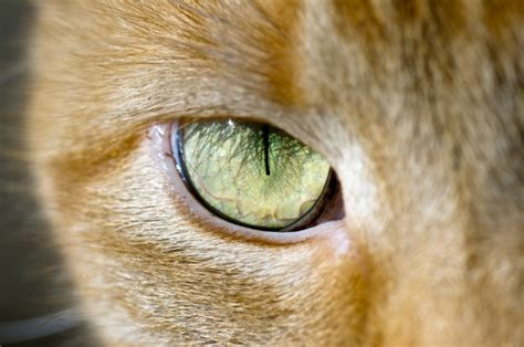 cat eye 4 cool facts about cat catster