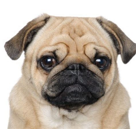 what is the span of a pug set of pug pictures on animal picture society