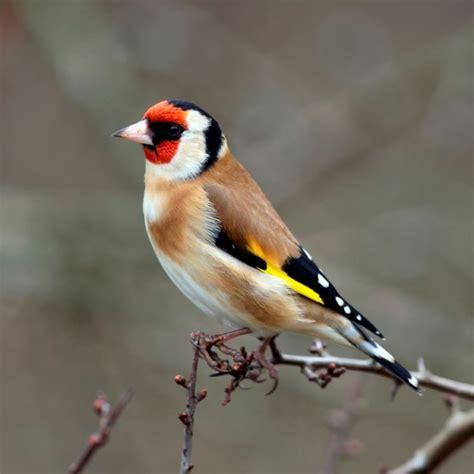cardellino in gabbia canto cardellino uccelli autoctoni impara a