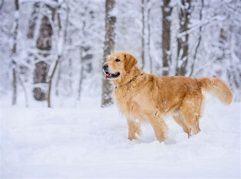 how big do golden cocker retrievers get these breeds look like puppies their entire lives