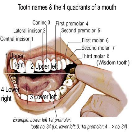 names of teeth diagram visual research ba creative media and vis 3d