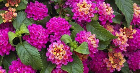koleksi tanaman hias pokok bunga tahi ayam lantana camara