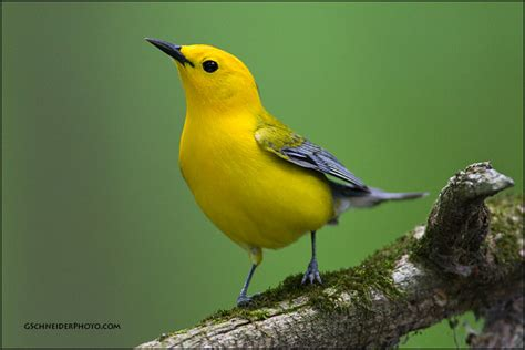 Prothonotary Search Photo Prothonotary Warbler