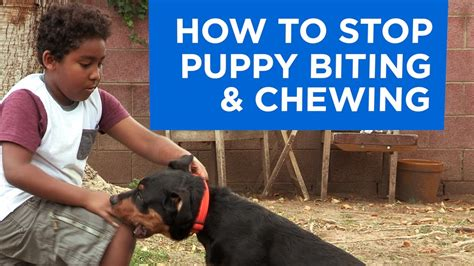 how to stop puppy from how to stop puppy biting and chewing funnydog tv