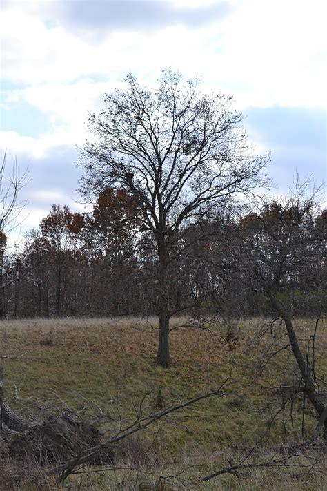 cottonwood tree s