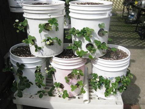 strawberry plants   gallon buckets
