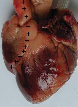 sillon interventriculaire dissection du coeur de mouton