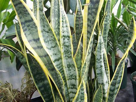 sempreverdi da terrazzo piante da terrazzo sempreverdi piante da terrazzo