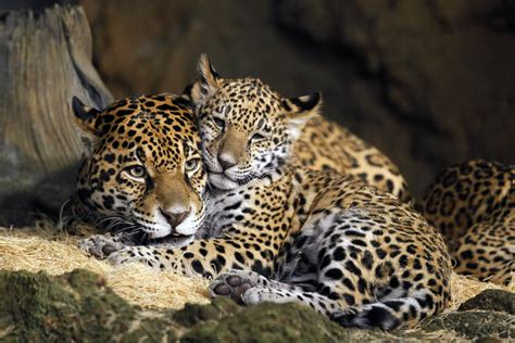 photos baby jaguars are named at the zoo