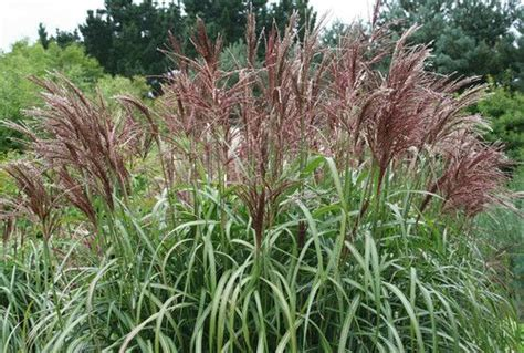 foilage ornamental grass quot miscanthus malepartus quot potted plant ornamental grasses potted