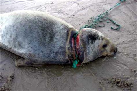 boot zeehond ameland grijze zeehond gedood door visnet ameland nieuws