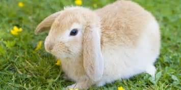 pourquoi le lapin mange t il ses crottes 21 janvier