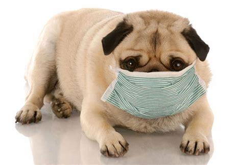 canine coughing the dog daily zoonoses ziektes die je van je hond kan krijgen de