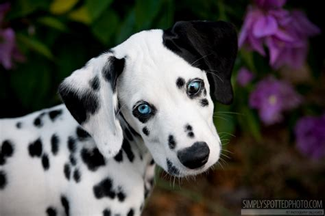 dalmatian puppies florida dalmatian puppies with blue www pixshark images galleries with a bite