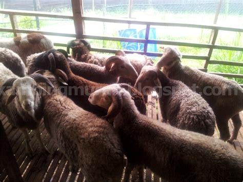 Kambing Murah kambing murah aqiqah august 2013