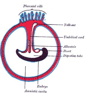 placenta amniotic sac diagram development of the fetal membranes and placenta human