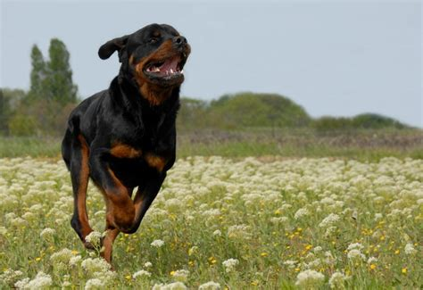 world s rottweiler world s breeds slideshow