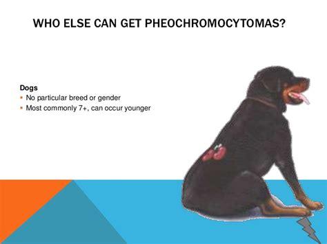 pheochromocytoma in dogs pheochromocytoma