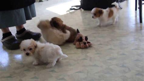 havachon puppies for sale havachon puppies for sale