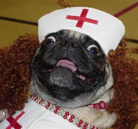 pug doctor doctor pug will see you now pugapalooza posts and
