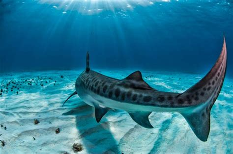 facts   tiger shark  interesting facts
