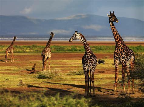 animal wallpaper hd desktop free download giraffe wallpaper download hd wallpapers
