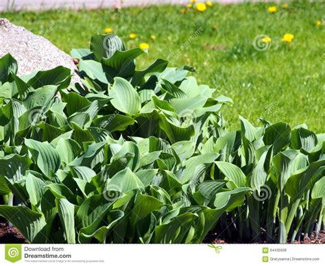 ornamental foliage plants hosta stock photo image 64435938