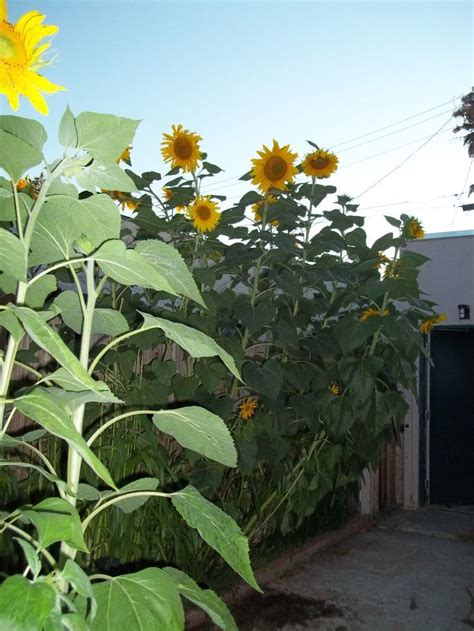 sunflower fence google search natural fence mammoth