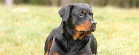 ley de razas de perros peligrosos boo the dogs razas de perros peligrosos seg 250 n la ley de espa 241 a