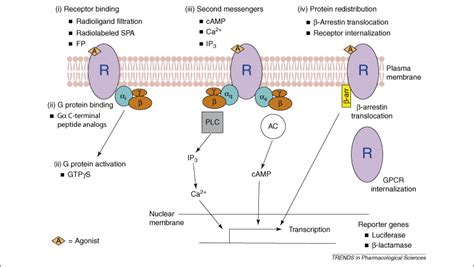 Modulating G-protein-coupled receptors: from traditional ... G Protein Coupled Receptors Diagram