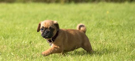 puppy finder pa puppies for sale in pa find your puppy at greenfield puppies