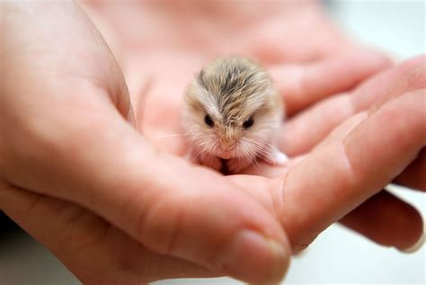 15  Adorable Hamsters That Will Cause A Cuteness Overload
