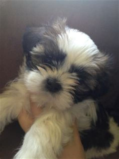 half shih tzu half chihuahua puppies my baby lookalikes on shih tzu maltese and pictures