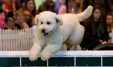 are acorns bad for dogs crufts events news pictures schedule winners express co uk